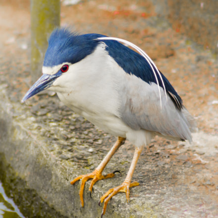 Black Crowned Night Heron // Taipei
