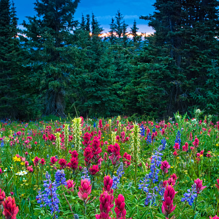 Mountain Wildflowers, Nikon D2X, Sigma 24mm F1.8 EX DG Aspherical Macro