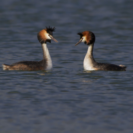Great crested grebes, Svassi, Canon EOS 7D, Sigma 150-500mm f/5-6.3 APO DG OS HSM