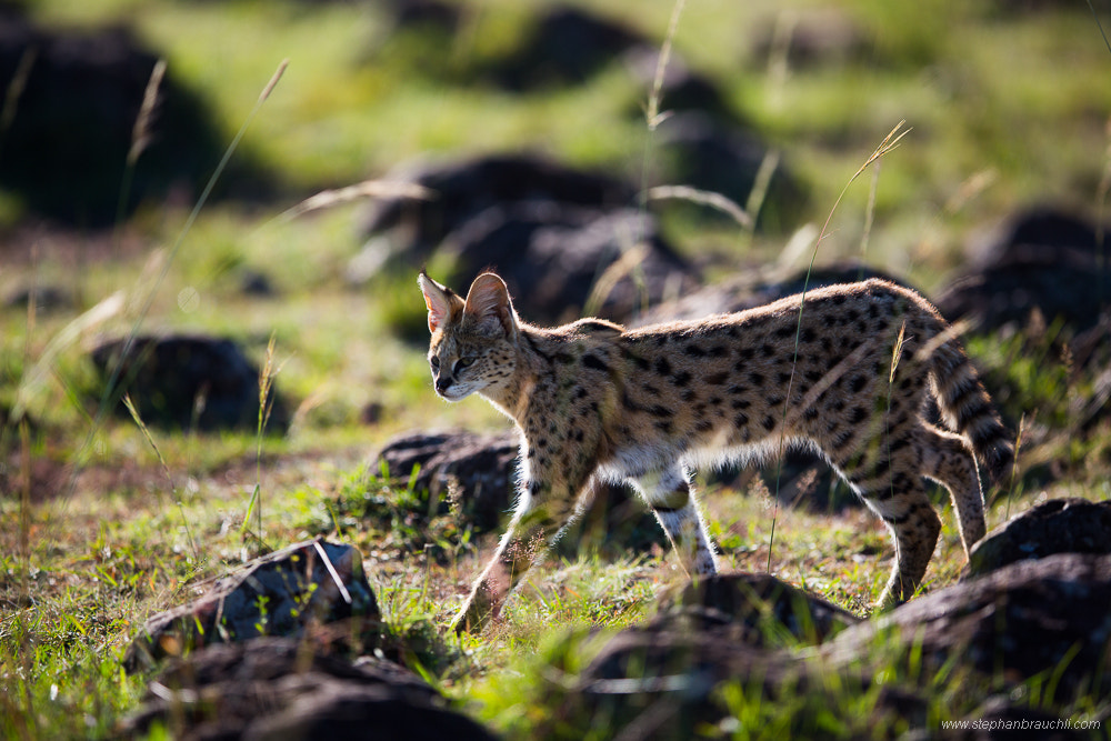 Photograph African Serval by Stephan Brauchli on 500px