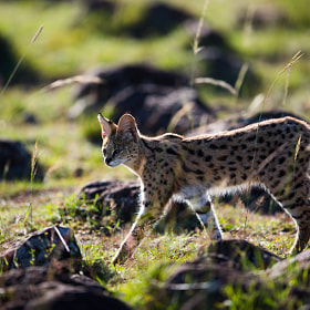 African Serval by Stephan Brauchli (Stephanopolis)) on 500px.com