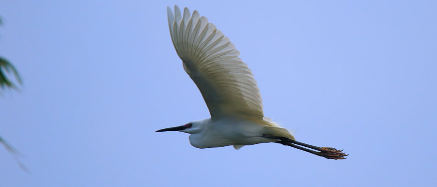 The little egret by Khoi Tran Duc on 500px.com