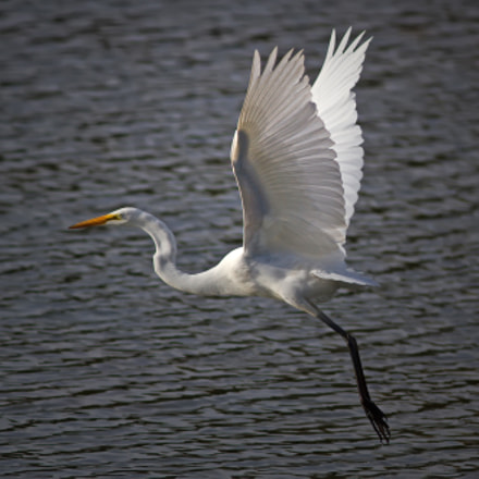 Great Egret 0056, Canon EOS 7D, Canon EF 300mm f/4L IS