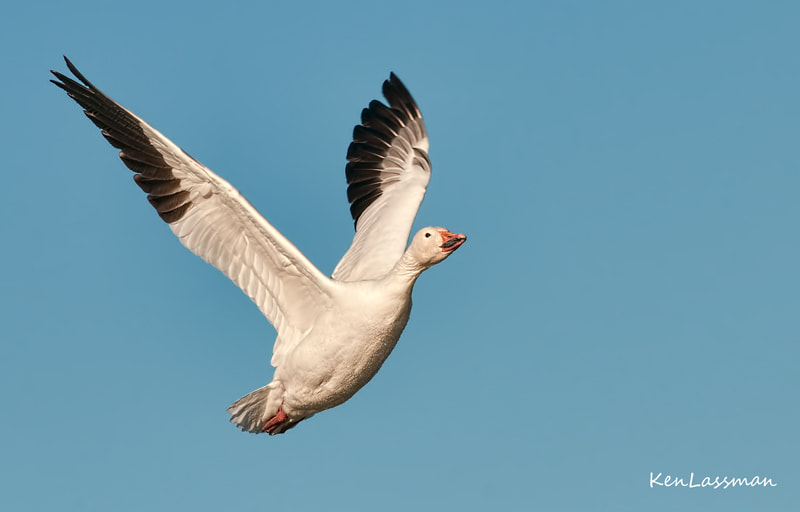 Snow Goose after take off