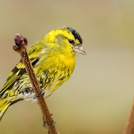 Zeisig, Canon EOS 6D, Canon EF 300mm f/4L IS