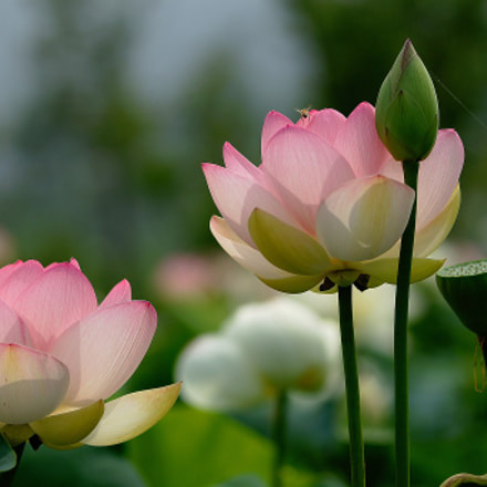 Lotus flowers , Sony DSLR-A700, Tamron SP AF 70-200mm F2.8 Di LD IF Macro