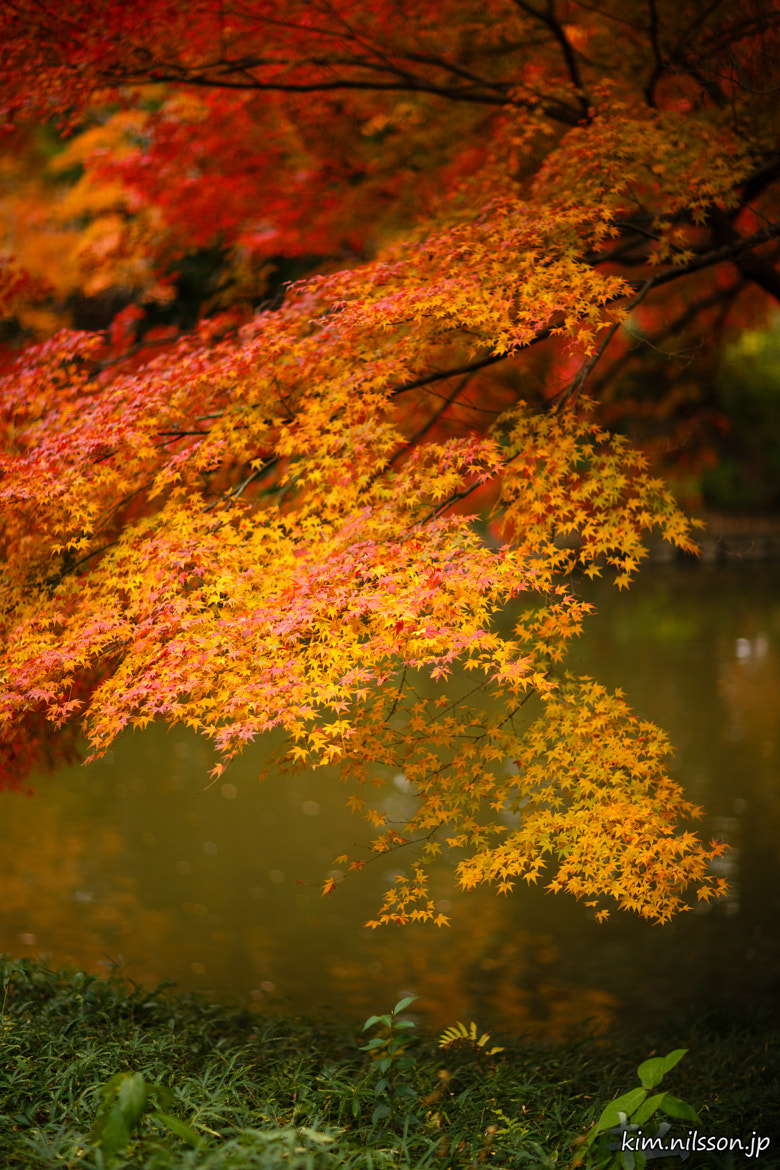 Photograph Fiery Leaves by Kim Nilsson on 500px