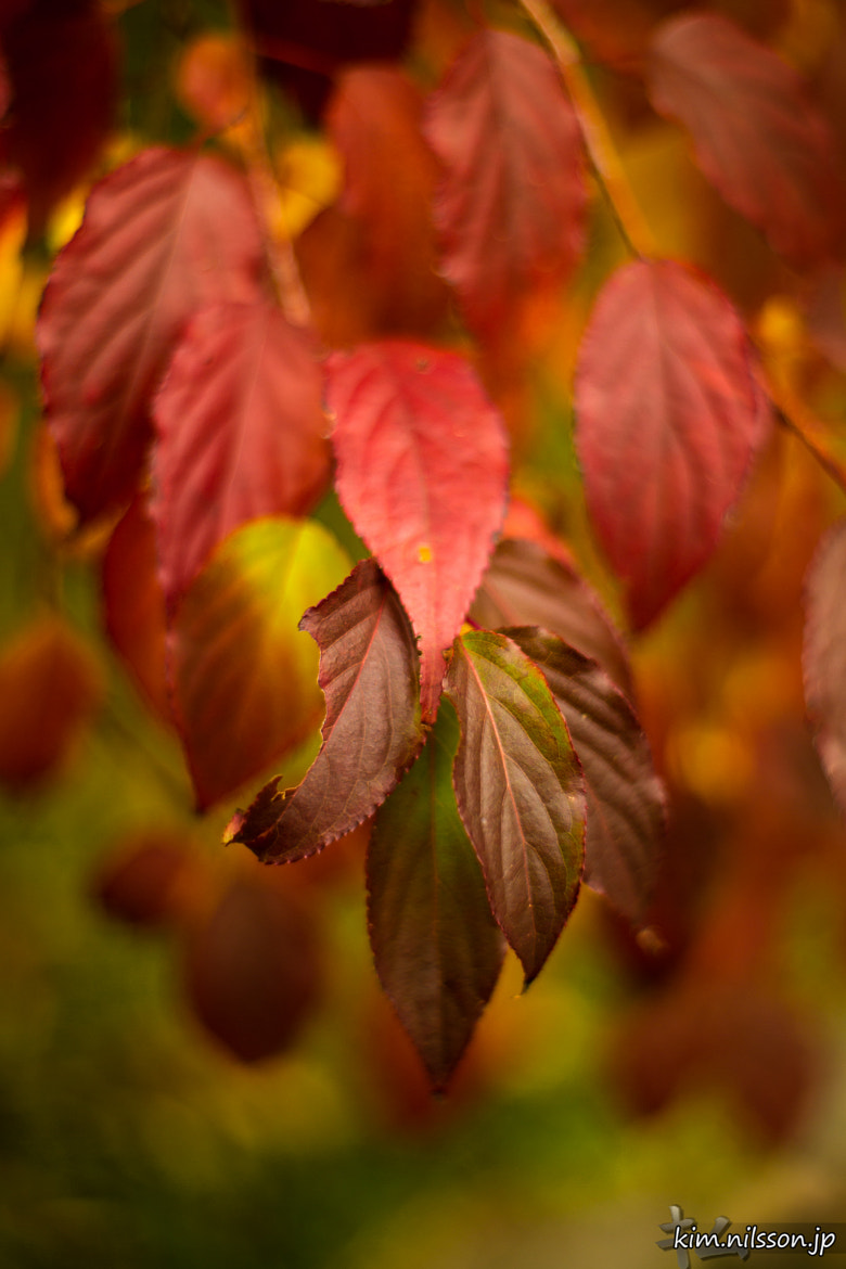 Photograph Full-blood Autumn by Kim Nilsson on 500px