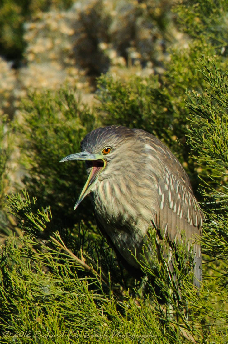 Photograph Juvenile Night Heron by Richard Kimbrough on 500px
