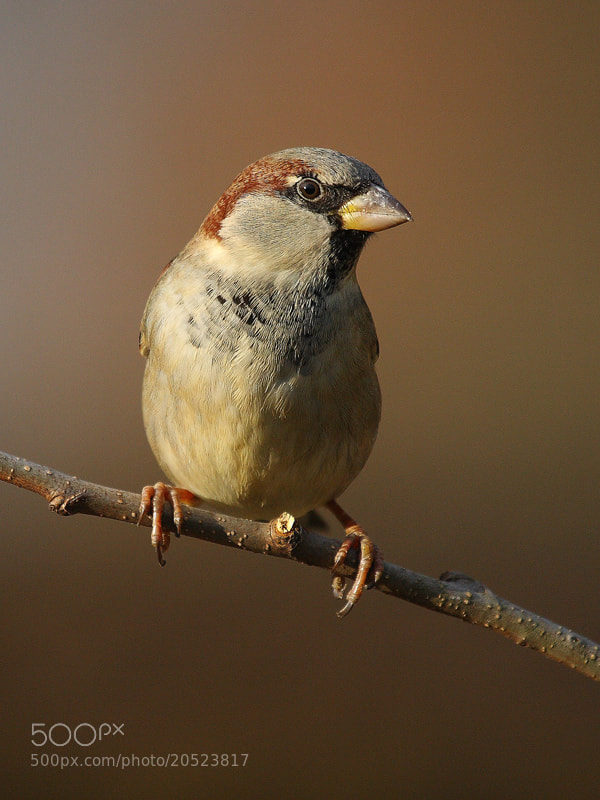 Photograph Sparrow by theo dierckx on 500px