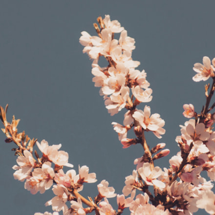 Almond blossom #3, Sony DSLR-A200, Sigma 70-300mm F4-5.6 DL Macro