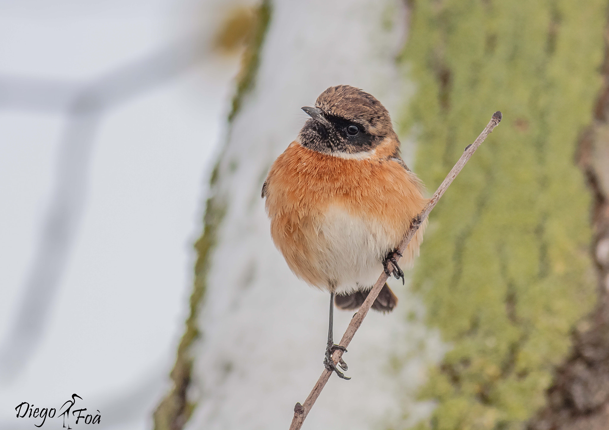 Photograph Stonechat by WildSnaps Photography on 500px