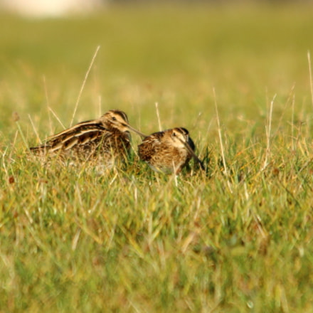 Two snipe, Canon EOS 70D, Sigma 150-500mm f/5-6.3 APO DG OS HSM