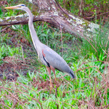 Our male Heron roaming, Canon POWERSHOT SX530 HS