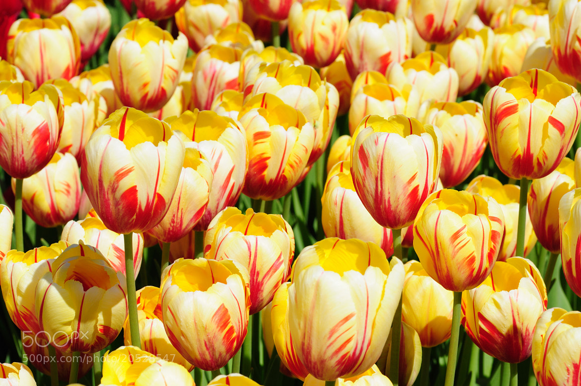 Photograph Tulips by Aleksei Velizhanin on 500px