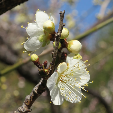 White Plum Flower, Canon POWERSHOT G9 X