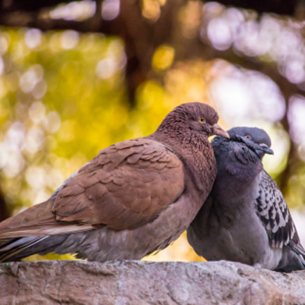 Pigeon love, Canon EOS REBEL T3I, Canon EF-S 55-250mm f/4-5.6 IS STM