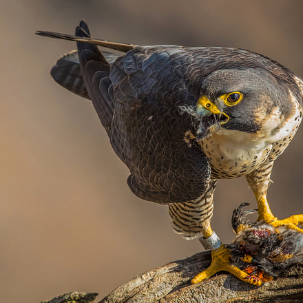 Mouthfull, Canon EOS-1D X MARK II, Canon EF 600mm f/4L IS