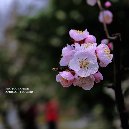 Photographer and apricot flowers, Canon POWERSHOT G1 X MARK II