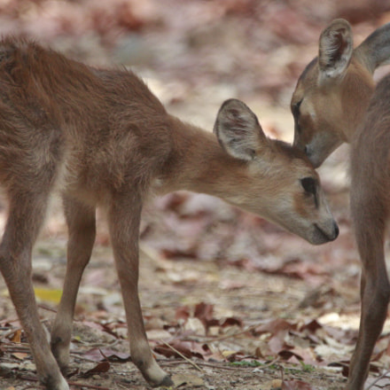 Deer cubs playing with, Canon EOS 760D, Sigma 150-600mm f/5-6.3 DG OS HSM | C