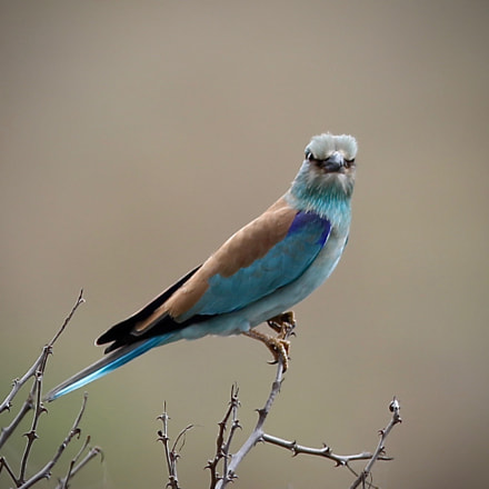 The European Roller, Canon EOS 7D MARK II, Canon EF 400mm f/2.8L IS II USM