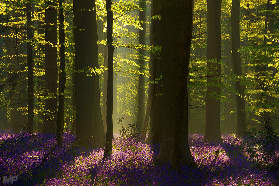 Hallerbos by Martin Podt on 500px.com
