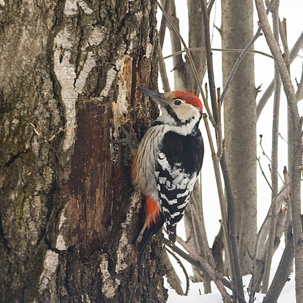 Great spotted woodpecker, Canon EOS 5D, Canon EF 80-200mm f/2.8L