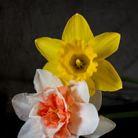 Narcisos - Flowers