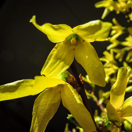 Forsythia, Nikon COOLPIX P300