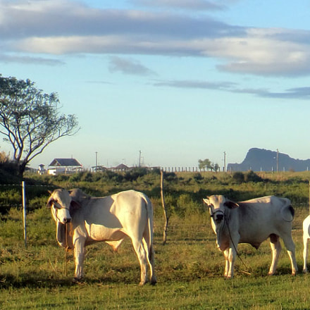 Philippine Cattle, Sony DSC-TF1