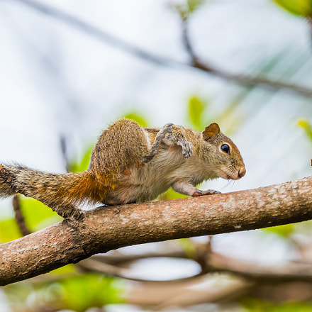 Indian palm squirrel, Sony SLT-A99, 70-400mm F4-5.6 G SSM