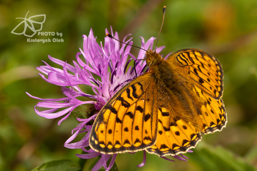 Photograph The High Brown Fritillary by Oleh Krotovych on 500px