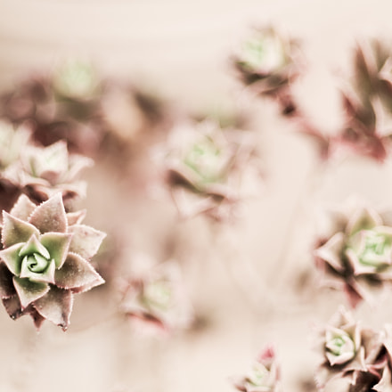 More succulents, Pentax K-30, smc PENTAX-DA* 55mm F1.4 SDM