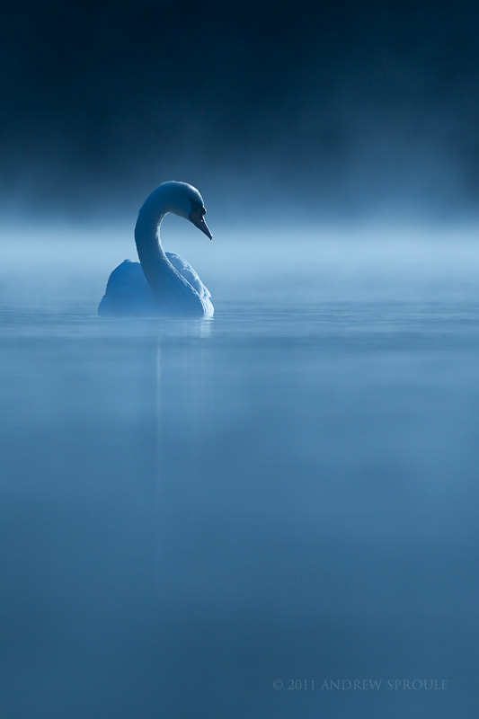 Photograph Mute Swan at first light by Andrew Sproule on 500px