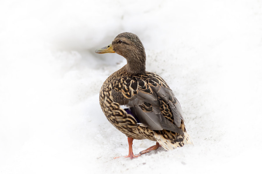 duck on the snow