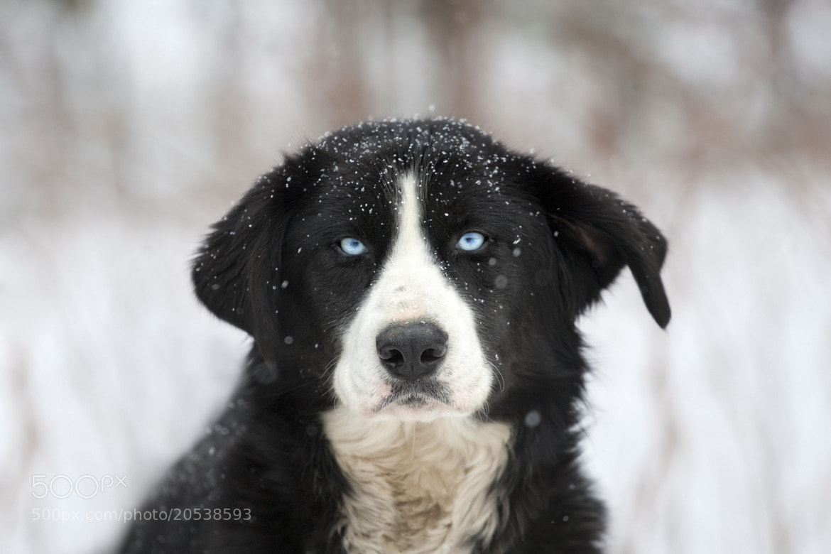 Photograph Métier: Chien de Traineau  by Renald Bourque on 500px