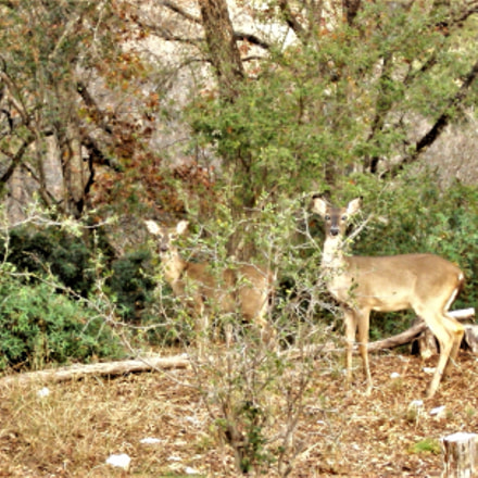 deer and Christmas, Sony DSC-S930