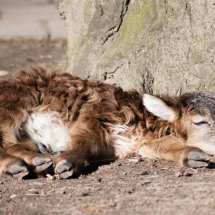 Young Soay Sheep Sleeping, Canon EOS 1000D, Canon EF 75-300mm f/4-5.6 USM