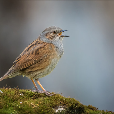 Heckenbraunelle - Dunnock, Canon EOS 7D MARK II, Canon EF 400mm f/4 DO IS II USM