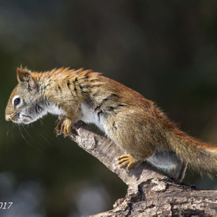 5397- Red Squirrel 39, Canon EOS 7D, Canon EF 70-300mm f/4-5.6 IS USM