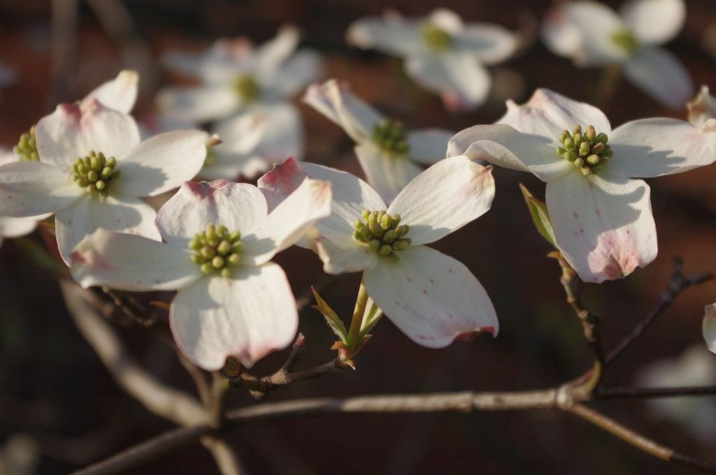 Photograph Dogwood flowers by Susan Southard on 500px