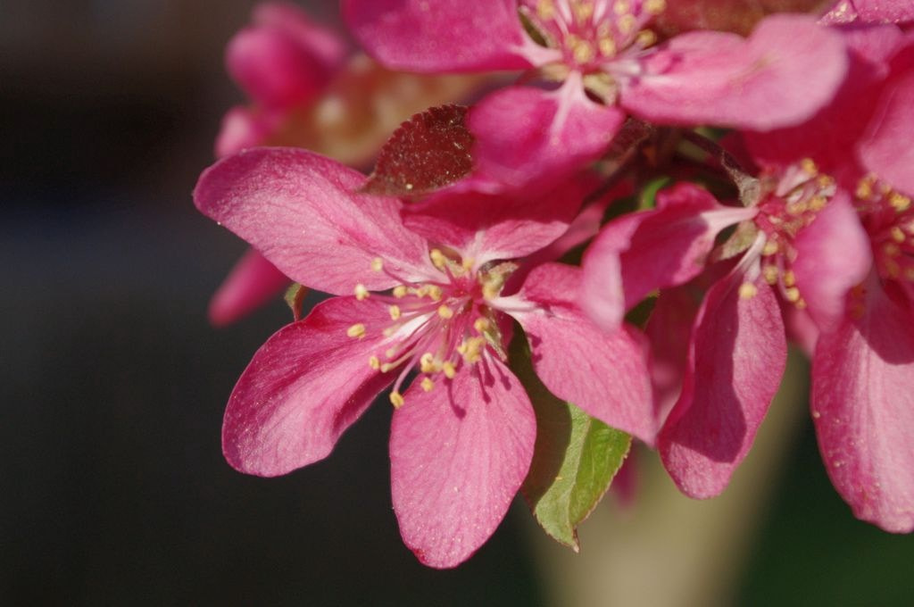 Photograph Crab apple by Susan Southard on 500px
