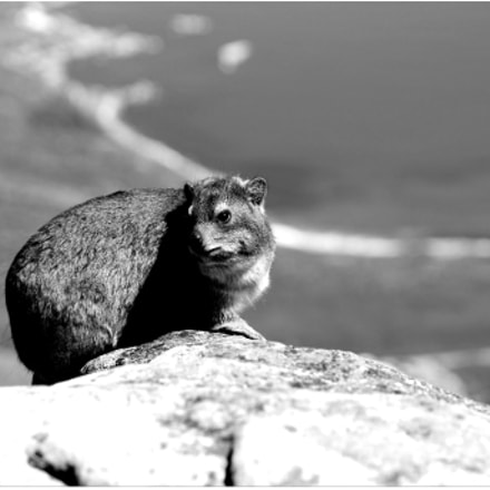 Rock Hyrax -Table Mountain-Cape, Canon EOS 600D, Canon EF 70-300mm f/4-5.6 IS USM
