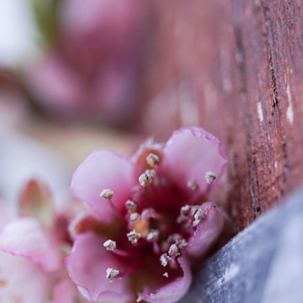 My peach blossom again!, Sony ILCE-QX1, E 30mm F3.5 Macro