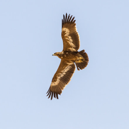 Steppe Eagle Aquila nipalensis, Canon EOS 7D, Canon EF 70-300mm f/4-5.6 IS USM