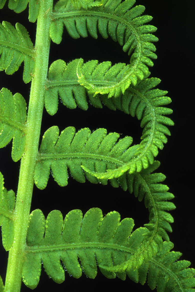 Photograph Fern Detail by Norm Riekenbrauck on 500px