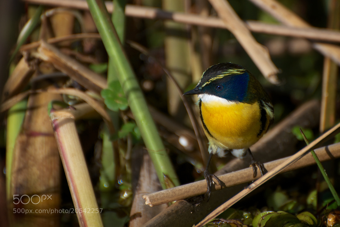 Photograph Many-colored Rush Tyrant by Remco Douma on 500px