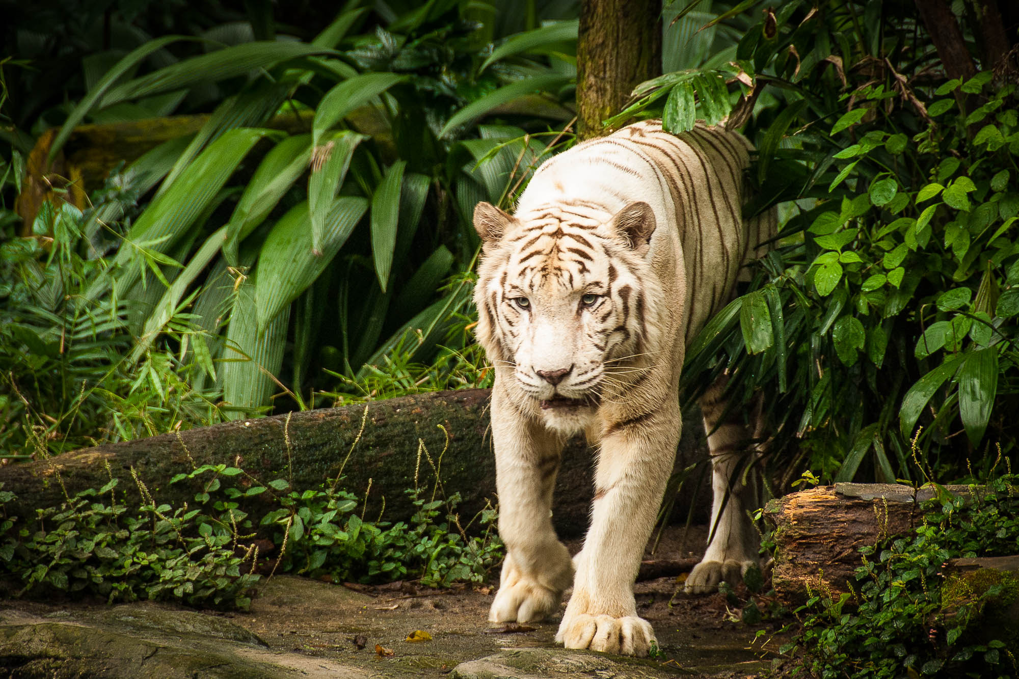 Photograph The White Tiger by Jupert Sison on 500px