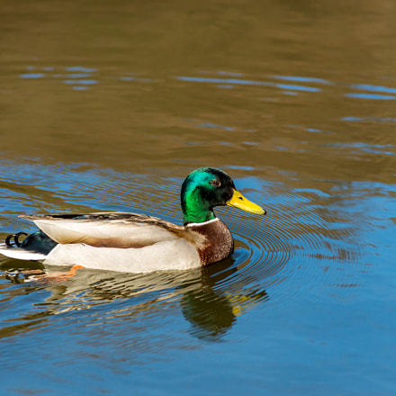 Mallard duck float on, Nikon D610