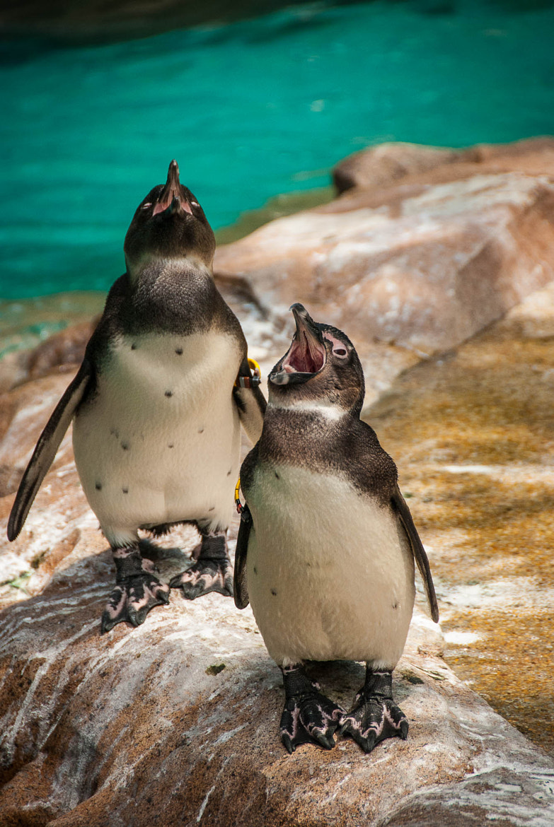 Photograph The Singing Penguins by Jupert Sison on 500px